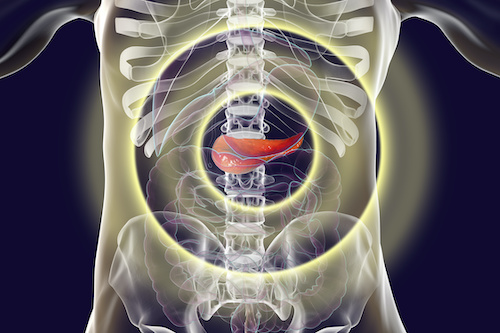 illustrated human abdomen with pancreas highlighted